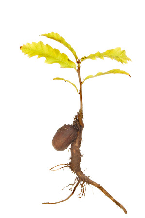 Sapling oak tree germinated from an acorn isolated against white photo
