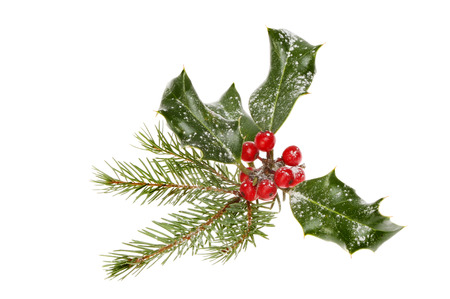holly leaves: Snow dusted holly and pine needles isolated against white Stock Photo