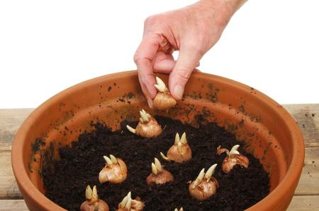 Hand planting crocus bulbs into a pot on a potting bench photo