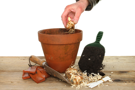 Hand planting a lily bulb into a terracotta pot on a potting bench with garden tools photo