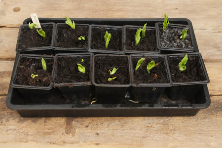 Broad bean seedlings in pots in a propagator tray on a wooden potting bench photo