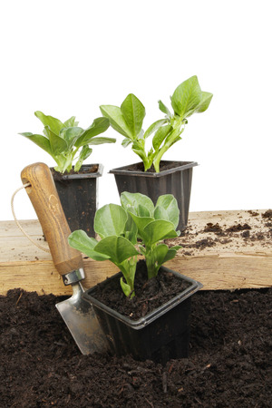 Broad bean seedlings in pots on a wooden board and on the soil photo