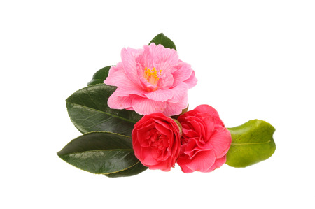 Arrangement of camellia flowers and foliage isolated against white