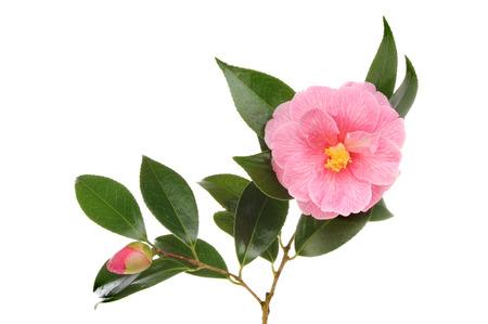 camellia: Magenta camellia flower foliage and bud isolated against white Stock Photo