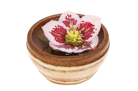 stoneware: Hellebore flower floating on water in a stoneware bowl isolated against white
