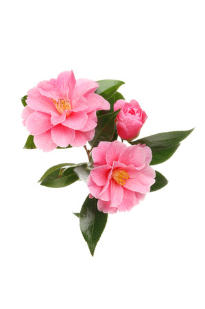Arrangement of magenta camellia flowers and foliage isolated against white