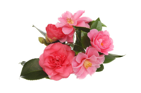 blosom: Arrangement of camellia flowers isolated against white