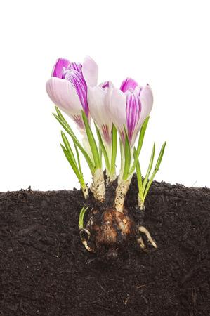 Section à travers le sol montrant une ampoule de crocus, des racines, des pousses et des fleurs Banque d'images - 26890516