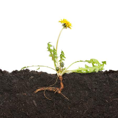 raices de plantas: Secci�n a trav�s del suelo con una mala hierba diente de le�n y ra�z principal contra un fondo blanco