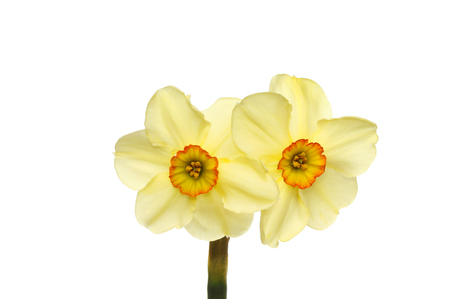 double headed: Double headed narcissus flower with pastel yellow petals and deep yellow and orange centers isolated against white Stock Photo