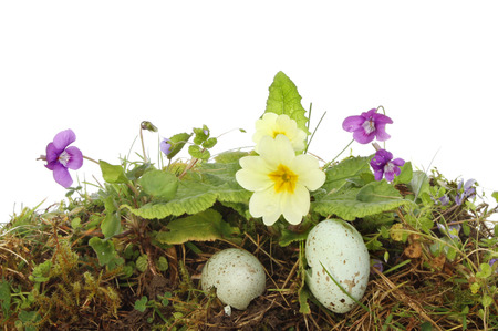 Single Primrose Plant And Flower Growing In Moss Against A White ...