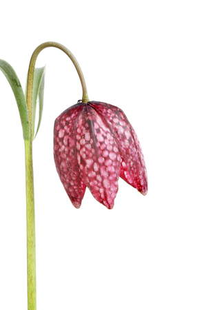 lazarus: Fritillaria meleagris flower, also known as snakes head fritillary, snakes head ,chess flower, frog-cup, guinea-hen flower, leper lily , Lazarus bell, checkered lily isolated against white Stock Photo