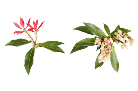Photograph in the style of a botanical illustration of Pieris Japonica, showing flowers evergreen foliage and red bracts