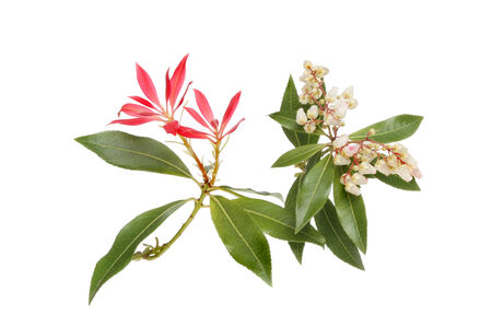 pieris: Pieris Japonica, flowers, foliage and red bracts isolated against white