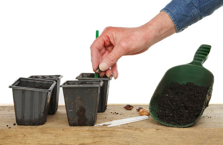 seed pots: Hand planting a runner bean seed into pots on a potting bench