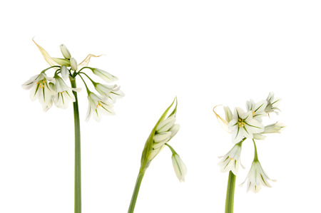 three cornered: Three cornered leek flowers and buds isolated against white