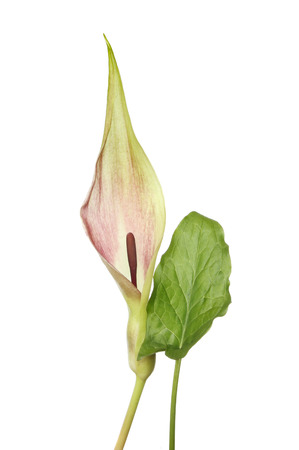 Lords and Ladies, Arum maculatum, flower and leaf isolated against white