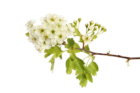 Hawthorn flowers and foliage isolated against white