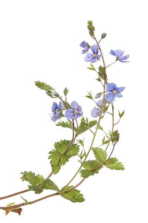 speedwell: Speedwell flowers and foliage isolated against white Stock Photo