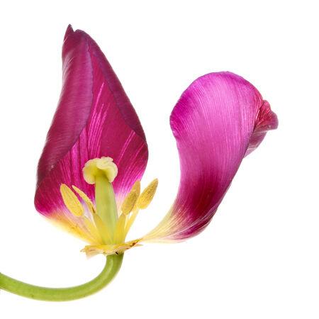 wilting: Flor del tulip�n con los p�talos se marchitan aislados contra blancos