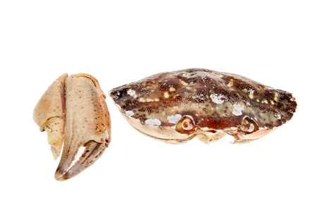 beachcomb: Dried and bleached crab shell and claw isolated against white Stock Photo