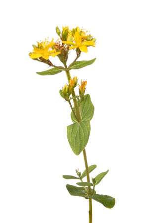 perforate: Perforate St Johns-Wort, Hypericum perforatum, wild flower and foliage isolated against white