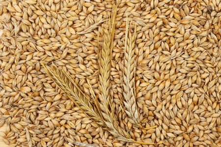 cebada: Ears of barley ona background of barley grains
