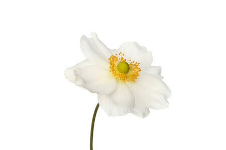 anemone flower: Bianco Anemone fiore isolato contro bianco