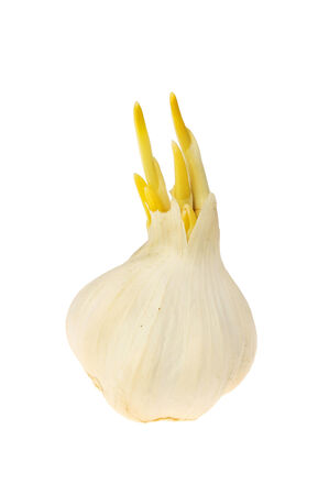 sprouting: Sprouting garlic bulb isolated against white