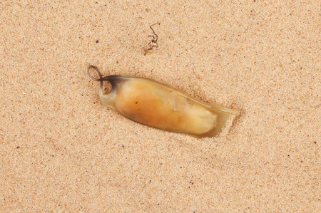 sand shark: Mermaid's or Devils's purse a shark fish species egg case on sand