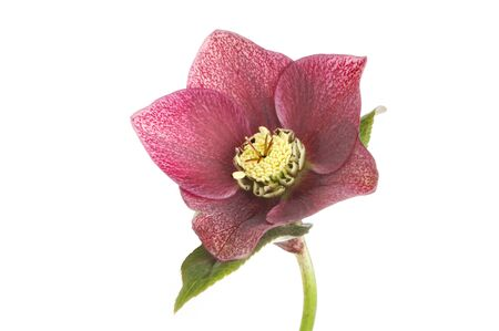 anther: Dusky red Helliborus flower isolated against white