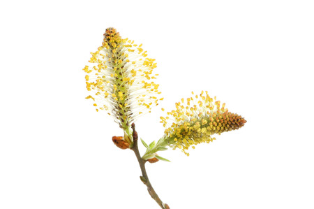 salix: Pussy willow, Salix, flower isolated against white Stock Photo
