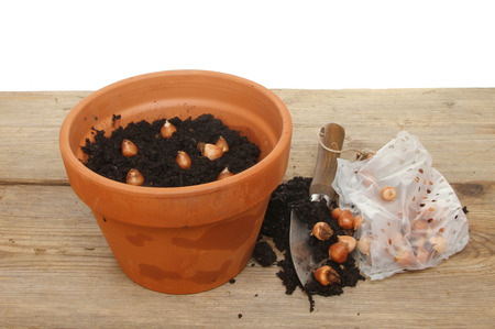 potting: Terracotta plant pot with compost, trowel and bulbs on a potting bench