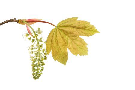 sicomoro: Foglia di sicomoro Fresco e fiore isolato contro bianco