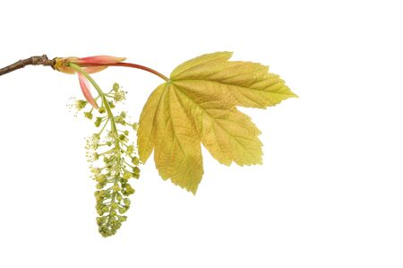 sycamore leaf: Fresh sycamore leaf and flower isolated against white Stock Photo