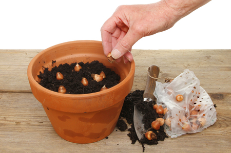 flower bulb: Hand planting bulbs into a pot on a potting bench