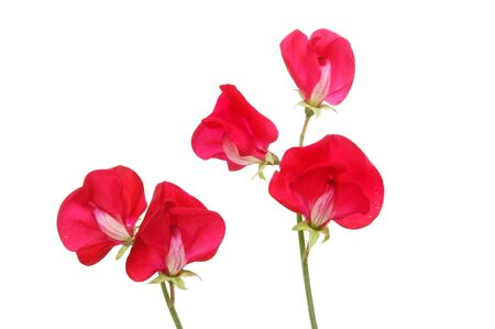 sweet pea: Red sweet pea flowers isolated against white Stock Photo