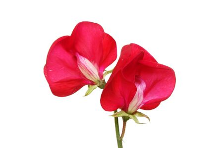 sweet pea: Two sweet pea flowers isolated against white