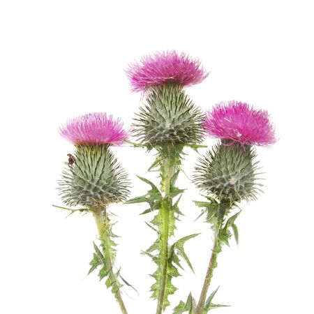 thistle: Three Thistle flowers isolated against white Stock Photo