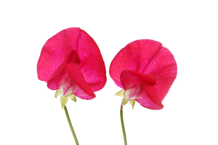 sweet pea: Two red sweet pea flowers isolated against white Stock Photo