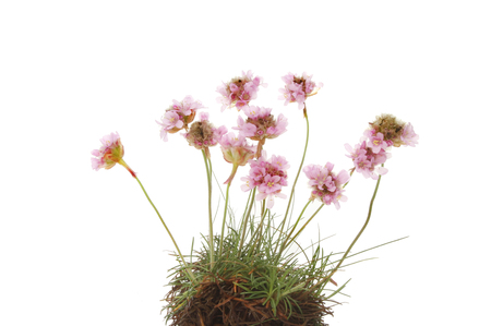 thrift: Clump of Thrift, Armeria maritima or sea pink flowers isolated against white