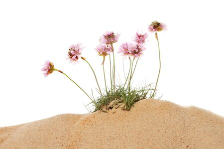 thrift: Clump of Thrift, Armeria maritima, flowers growing in sand against a white background