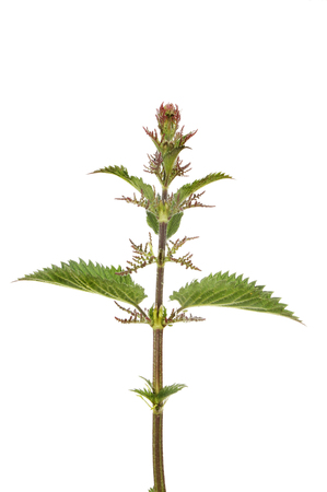 urtica: Flowering stinging nettle, Urtica dioica or common nettle isolated against white