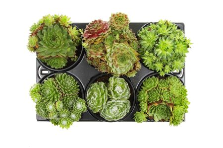 group of plants: Group of Sempevivum plants in a plastic tray isolated against white