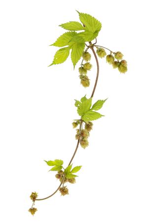 lupulus: Golden hop, Humulus lupulus Aureus, vine leaves and hops isolated against white