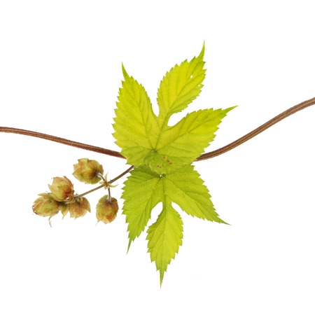 palmate: Golden hop, Humulus lupulus Aureus, vine leaves and hops isolated against white