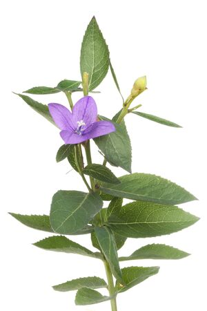 bell shaped: Bright blue bell shaped flower and foliage of a platycodon plant isolated against white Stock Photo