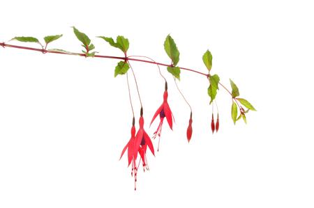 flores fucsia: Flores fucsias salvajes y follaje aislados contra blancos Foto de archivo