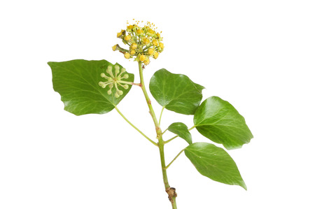 umbel: Ivy, Hedera, flowers and foliage isolated against white Stock Photo