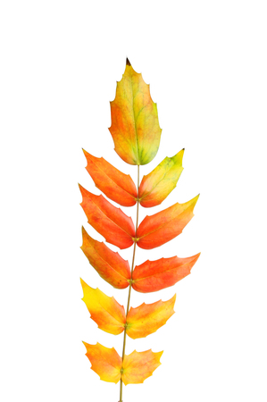 russet: Mahonia leaves with fiery Autumn colors isolated against white